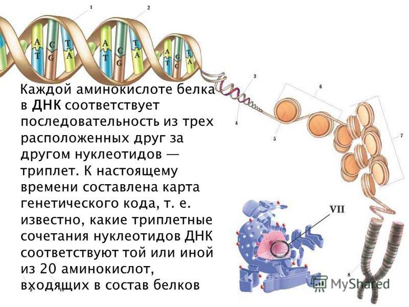 Каждой аминокислоте белка в ДНК соответствует последовательность из терх расположенных друг за другом нуклеотидов триплет. К настоящему времени составлена карта генетического кода, т. е. известно, какие триплетные сочетания нуклеотидов ДНК соответств