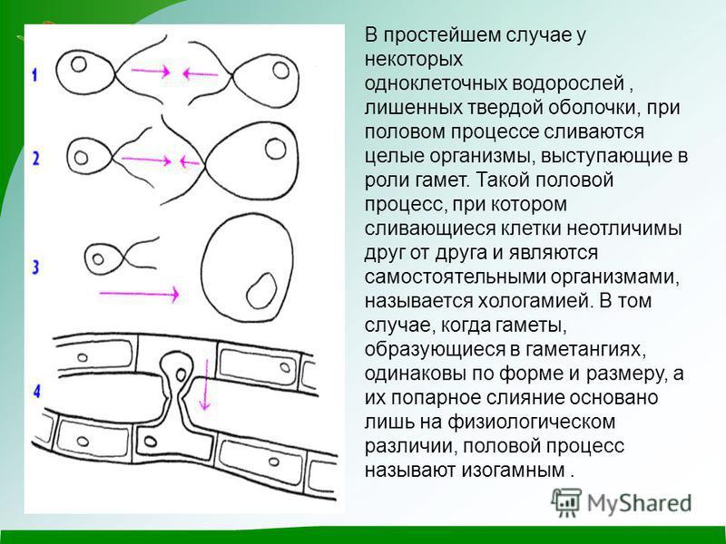 В простейшем случае у некоторых одноклеточных водорослей, лишенных твердой оболочки, при половом процессе сливаются целые организмы, выступающие в роли гамет. Такой половой процесс, при котором сливающиеся клетки неотличимы друг от друга и являются с