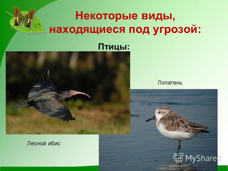 Некоторые виды, находящиеся под угрозой: Птицы: Лопатень Лесной ибис