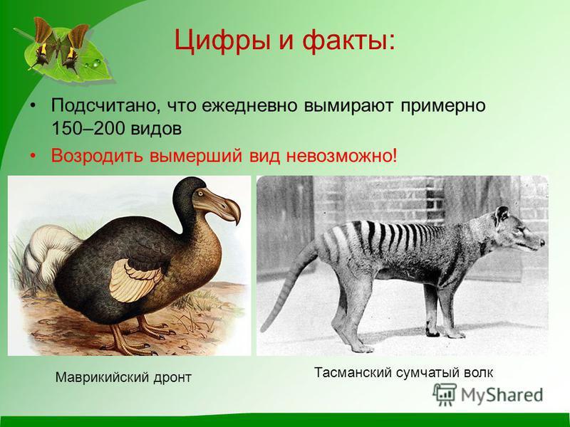 Цифры и факты: Подсчитано, что ежедневно вымирают примерно 150–200 видов Возродить вымерший вид невозможно! Маврикийский дронт Тасманский сумчатый волк