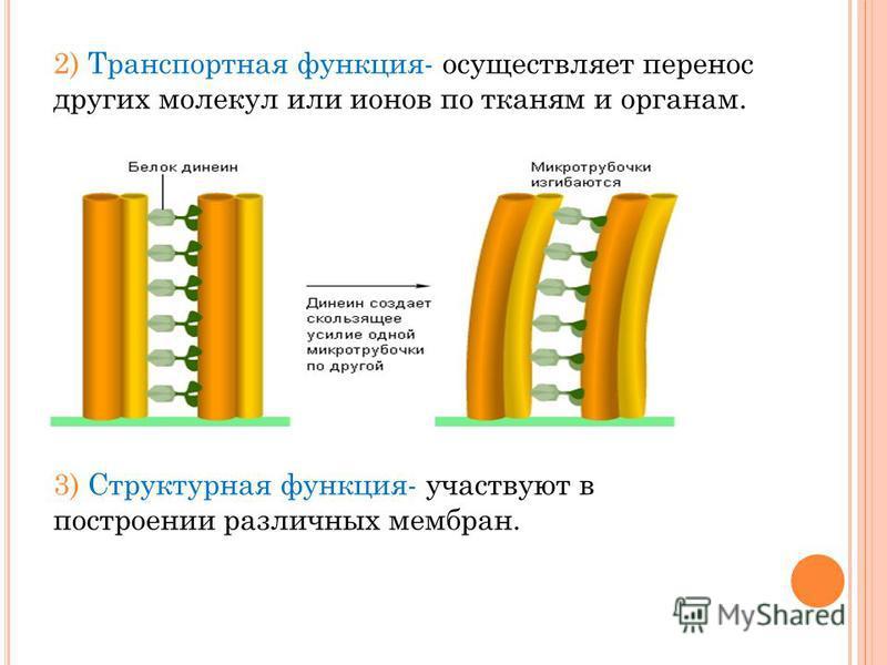 2) Транспортная функция- осуществляет перенос других молекул или ионов по тканям и органам. 3) Структурная функция- участвуют в построении различных мембран.