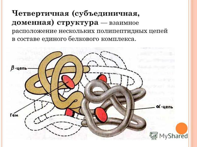 Четвертичная (субъединичная, доменная) структура взаимное расположение нескольких полипептидных цепей в составе единого белкового комплекса.