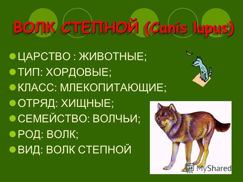 ВОЛК СТЕПНОЙ (Canis lupus) ЦАРСТВО : ЖИВОТНЫЕ; ТИП: ХОРДОВЫЕ; КЛАСС: МЛЕКОПИТАЮЩИЕ; ОТРЯД: ХИЩНЫЕ; СЕМЕЙСТВО: ВОЛЧЬИ; РОД: ВОЛК; ВИД: ВОЛК СТЕПНОЙ