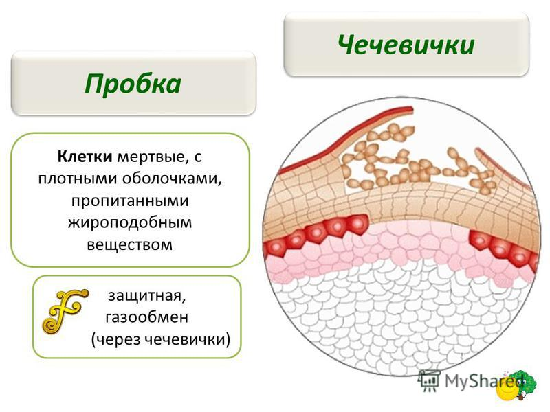 Чечевички Пробка Клетки мертвые, с плотными оболочками, пропитанными жироподобным веществом защитная, газообмен (через чечевички)