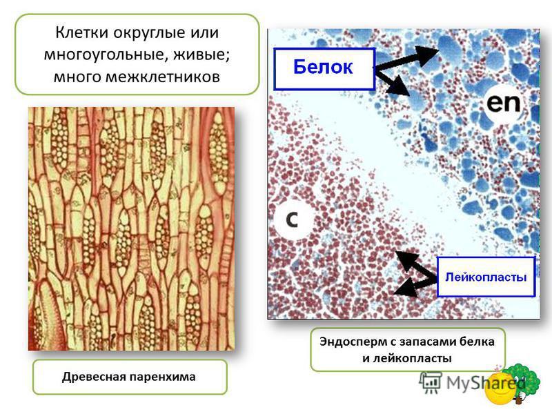 Древесная паренхима Эндосперм с запасами белка и лейкопласты Клетки округлые или многоугольные, живые; много межклетников