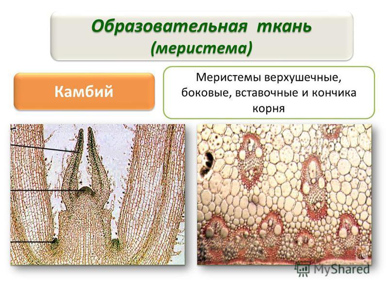 рост растения и начало другим тканям Образовательная ткань (меристема) Камбий Меристемы верхушечные, боковые, вставочные и кончика корня Строение: клетки многогранные, тонкостенные, без вакуолей и хлоропластов, постоянно делятся Строение: клетки мног