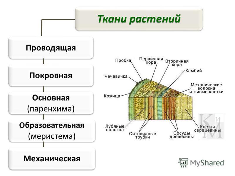 Ткани растений Проводящая Покровная Основная (паренхима) Образовательная (меристема) Механическая