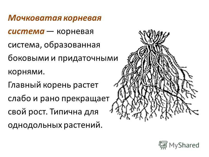 Мочковатая корневая система корневая система, образованная боковыми и придаточными корнями. Главный корень растет слабо и рано прекращает свой рост. Типична для однодольных растений.