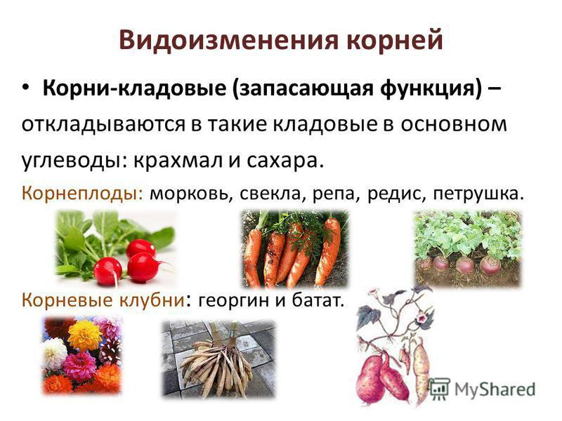 Видоизменения корней Корни-кладовые (запасающая функция) – откладываются в такие кладовые в основном углеводы: крахмал и сахара. Корнеплоды: морковь, свекла, репа, редис, петрушка. Корневые клубни : георгин и батат.