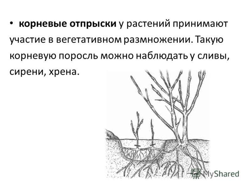 корневые отпрыски у растений принимают участие в вегетативном размножении. Такую корневую поросль можно наблюдать у сливы, сирени, хрена.