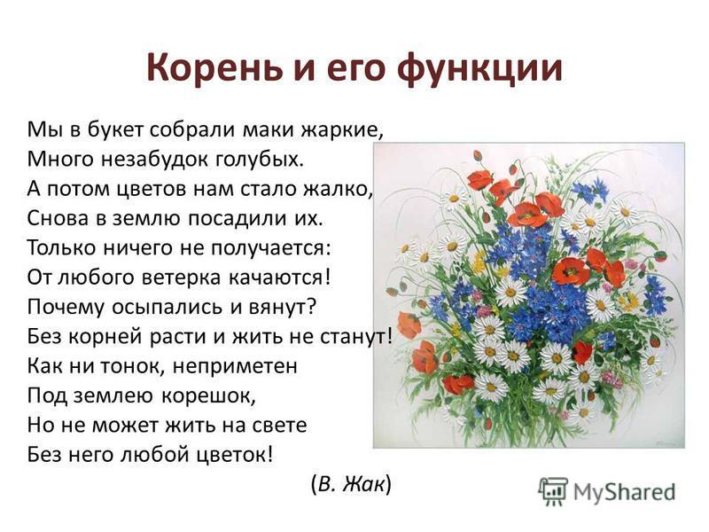 Корень и его функции Мы в букет собрали маки жаркие, Много незабудок голубых. А потом цветов нам стало жалко, Снова в землю посадили их. Только ничего не получается: От любого ветерка качаются! Почему осыпались и вянут? Без корней расти и жить не ста