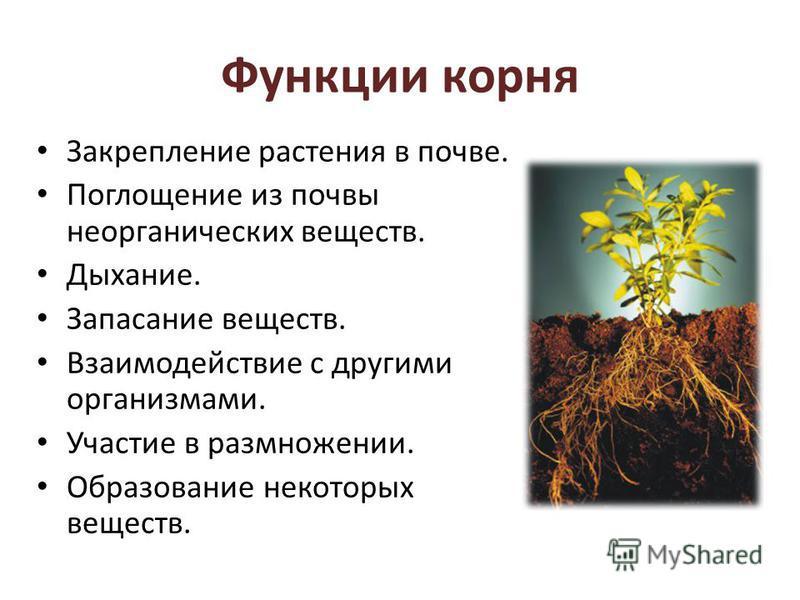 Функции корня Закрепление растения в почве. Поглощение из почвы неорганических веществ. Дыхание. Запасание веществ. Взаимодействие с другими организмами. Участие в размножении. Образование некоторых веществ.