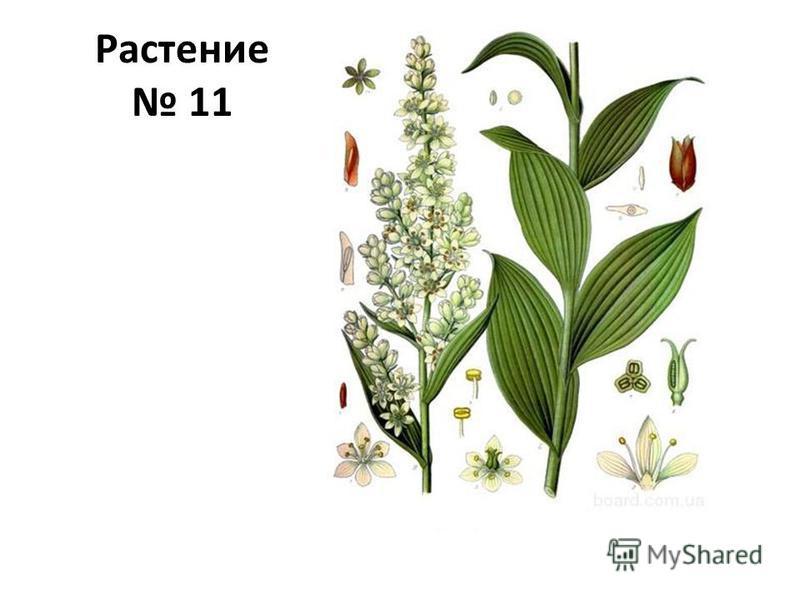 Растение 11