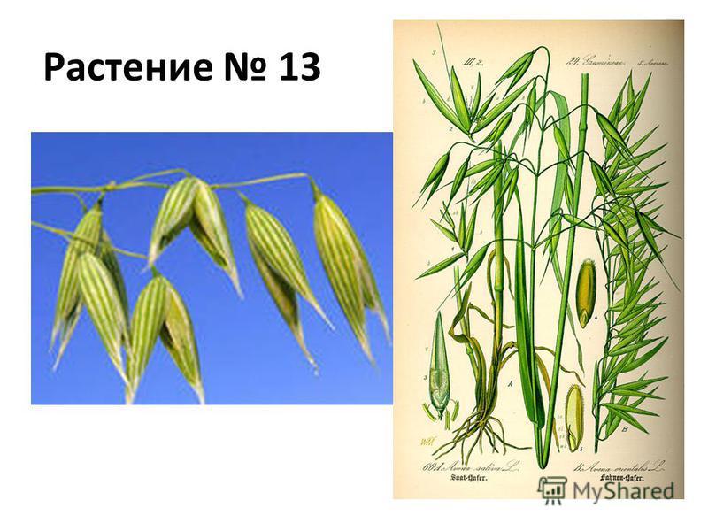 Растение 13