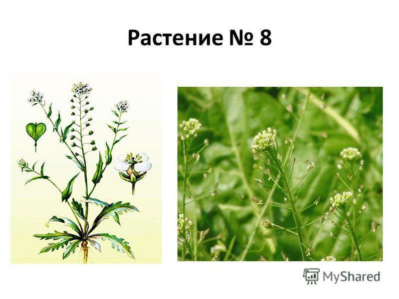 Растение 8