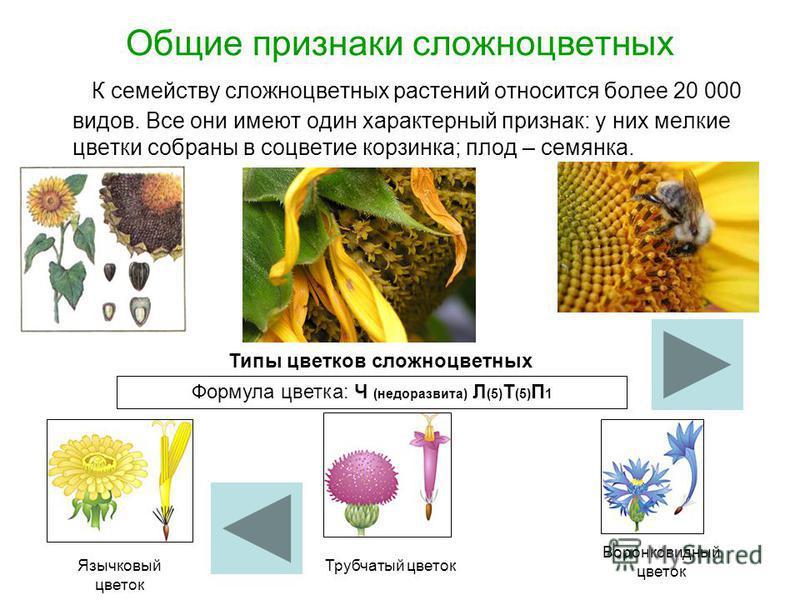 Общие признаки сложноцветных К семейству сложноцветных растений относится более 20 000 видов. Все они имеют один характерный признак: у них мелкие цветки собраны в соцветие корзинка; плод – семянка. Типы цветков сложноцветных Формула цветка: Ч (недор