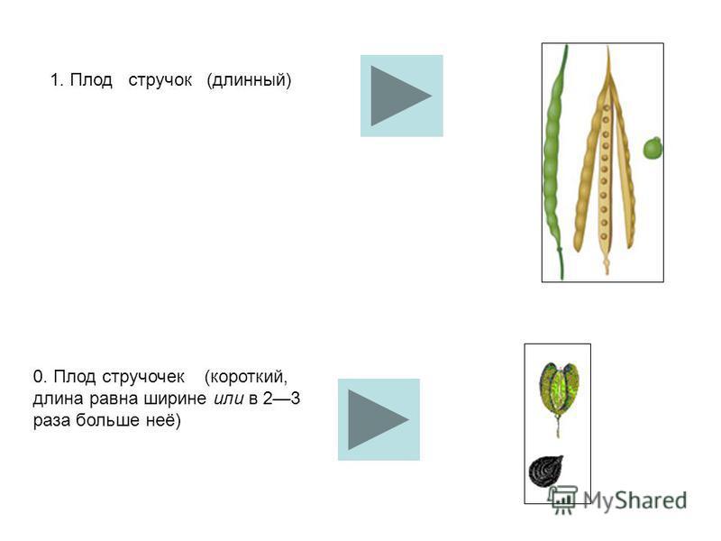 1. Плод стручок (длинный) 0. Плод стручочек (короткий, длина равна ширине или в 23 раза больше неё)