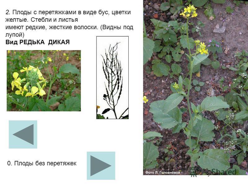 2. Плоды с перетяжками в виде бус, цветки желтые. Стебли и листья имеют редкие, жесткие волоски. (Видны под лупой) Вид РЕДЬКА ДИКАЯ 0. Плоды без перетяжек