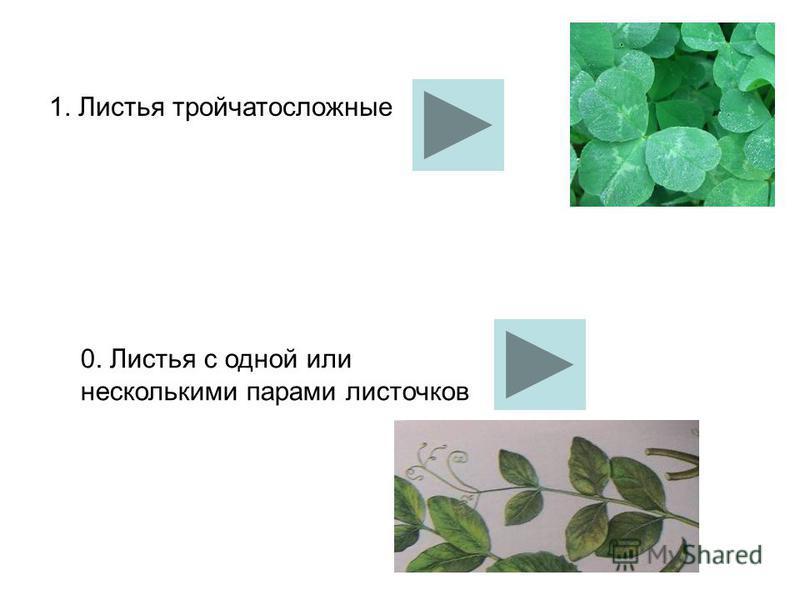 1. Листья тройчатосложные 0. Листья с одной или несколькими парами листочков