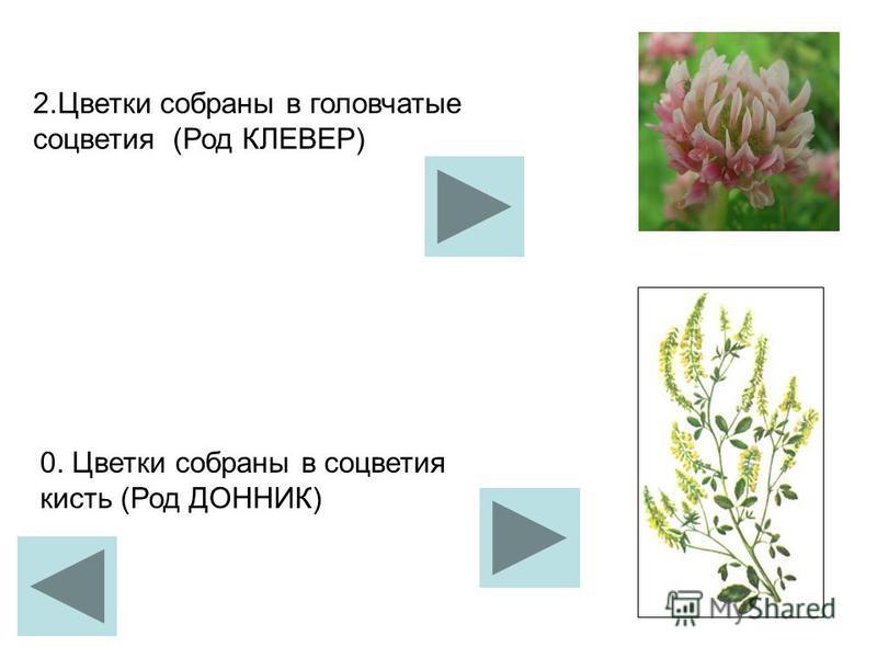 2. Цветки собраны в головчатые соцветия (Род КЛЕВЕР) 0. Цветки собраны в соцветия кисть (Род ДОННИК)