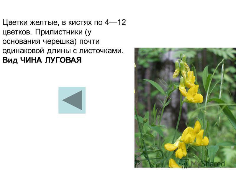 Цветки желтые, в кистях по 412 цветков. Прилистники (у основания черешка) почти одинаковой длины с листочками. Вид ЧИНА ЛУГОВАЯ