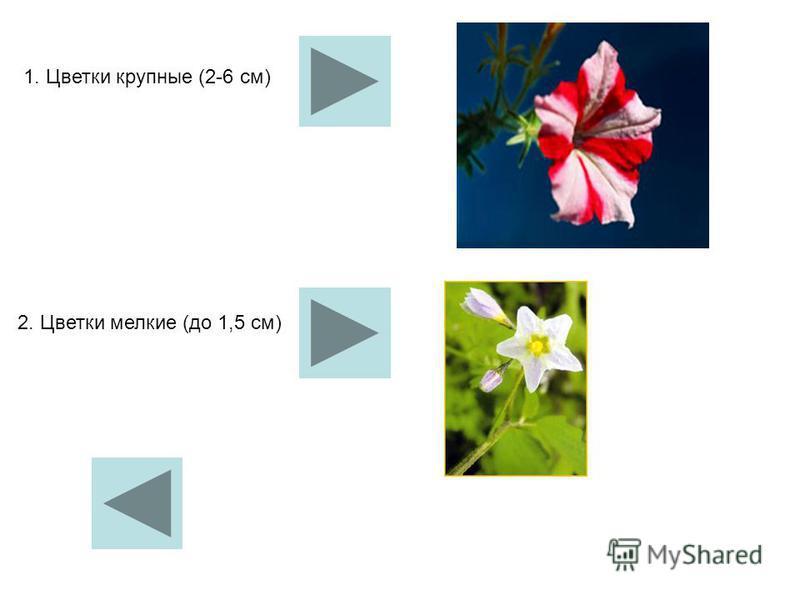 1. Цветки крупные (2-6 см) 2. Цветки мелкие (до 1,5 см)