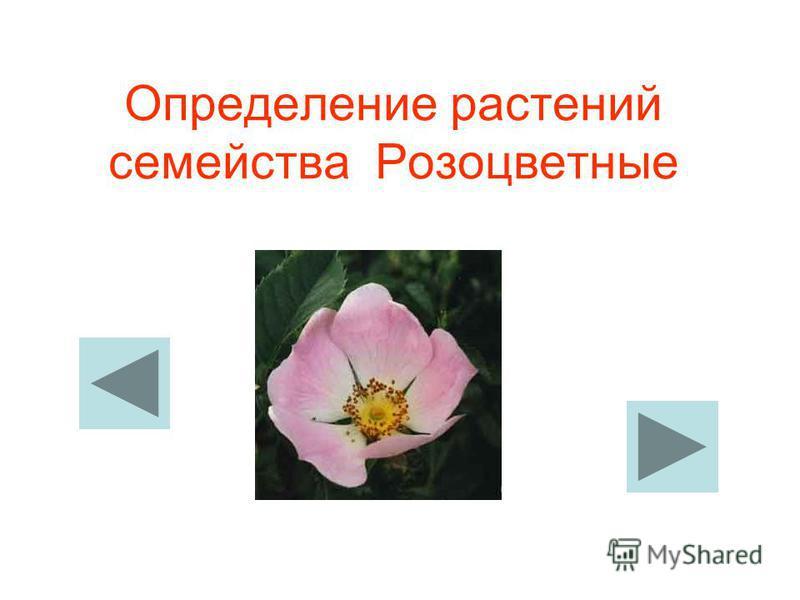 Определение растений семейства Розоцветные