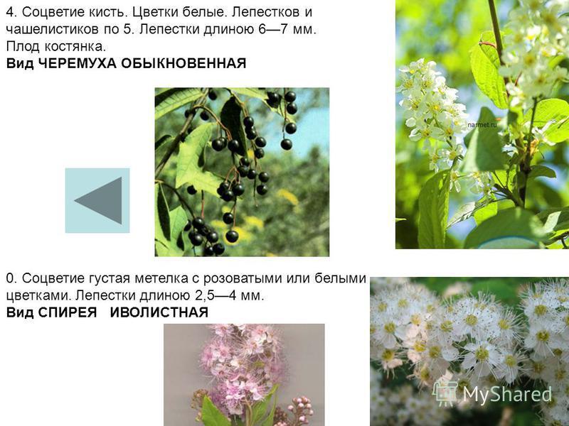4. Соцветие кисть. Цветки белые. Лепестков и чашелистиков по 5. Лепестки длиною 67 мм. Плод костянка. Вид ЧЕРЕМУХА ОБЫКНОВЕННАЯ 0. Соцветие густая метелка с розоватыми или белыми цветками. Лепестки длиною 2,54 мм. Вид СПИРЕЯ ИВОЛИСТНАЯ