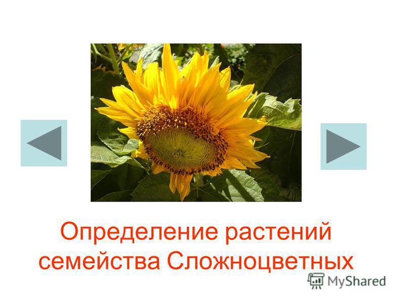 Определение растений семейства Сложноцветных
