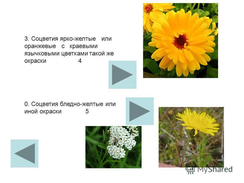 3. Соцветия ярко-желтые или оранжевые с краевыми язычковыми цветками такой же окраски 4 0. Соцветия бледно-желтые или иной окраски 5