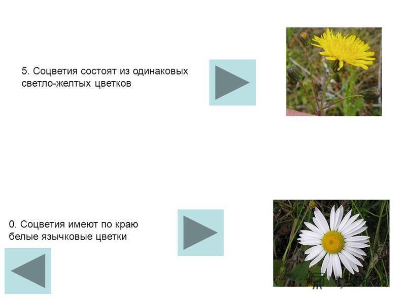 5. Соцветия состоят из одинаковых светло-желтых цветков 0. Соцветия имеют по краю белые язычковые цветки