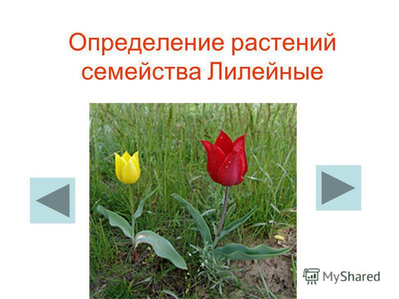 Определение растений семейства Лилейные