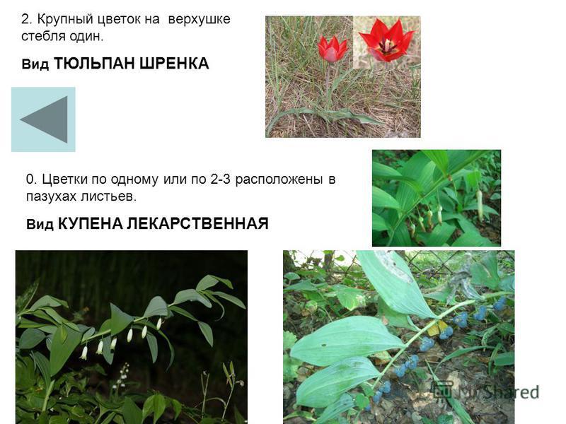 2. Крупный цветок на верхушке стебля один. Вид ТЮЛЬПАН ШРЕНКА 0. Цветки по одному или по 2-3 расположены в пазухах листьев. Вид КУПЕНА ЛЕКАРСТВЕННАЯ