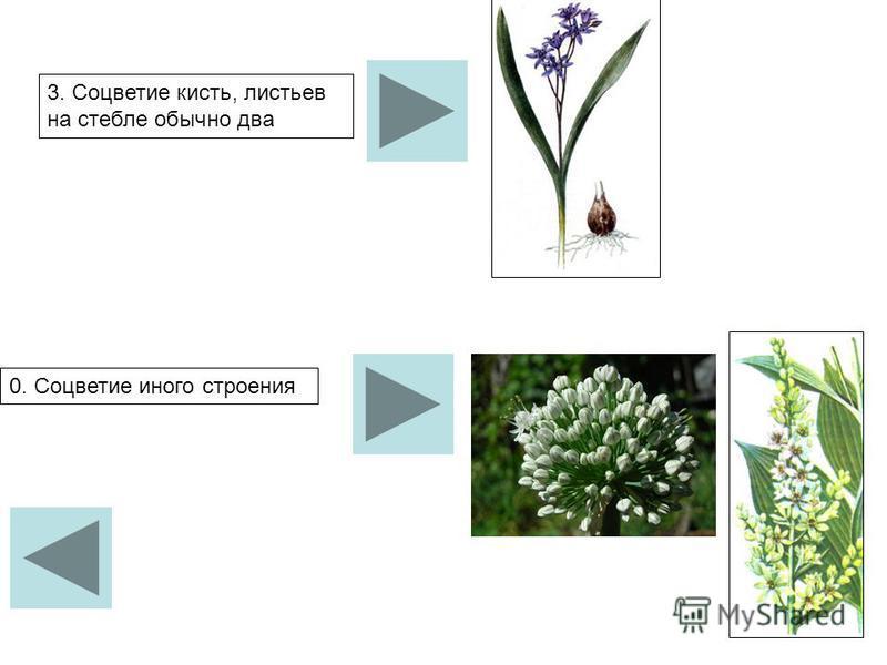 3. Соцветие кисть, листьев на стебле обычно два 0. Соцветие иного строения