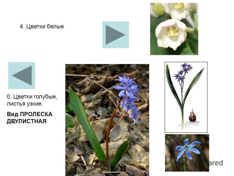 4. Цветки белые 0. Цветки голубые, листья узкие. Вид ПРОЛЕСКА ДВУЛИСТНАЯ