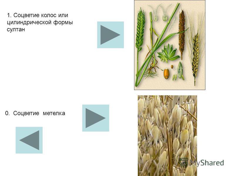 1. Соцветие колос или цилиндрической формы султан 0. Соцветие метелка