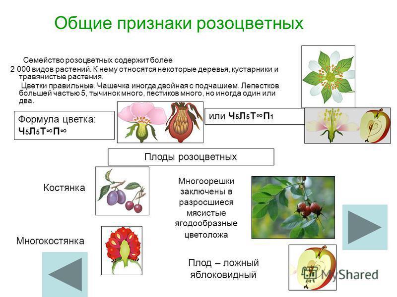 Общие признаки розоцветных Семейство розоцветных содержит более 2 000 видов растений. К нему относятся некоторые деревья, кустарники и травянистые растения. Цветки правильные. Чашечка иногда двойная с подчашием. Лепестков большей частью 5, тычинок мн
