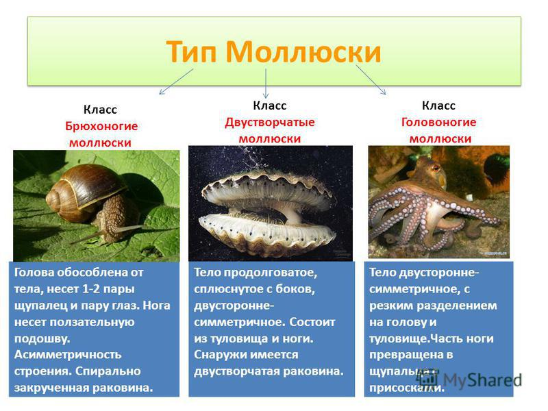 Тип Моллюски Голова обособлена от тела, несет 1-2 пары щупалец и пару глаз. Нога несет показательную подошву. Асимметричность строения. Спирально закрученная раковина. Класс Брюхоногие моллюски Класс Двустворчатые моллюски Класс Головоногие моллюски