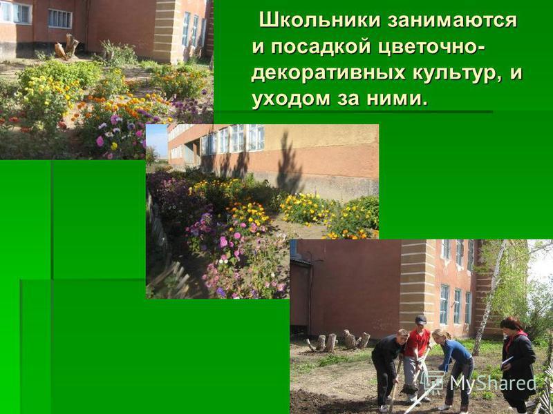 Школьники занимаются и посадкой цветочно- декоративных культур, и уходом за ними. Школьники занимаются и посадкой цветочно- декоративных культур, и уходом за ними.
