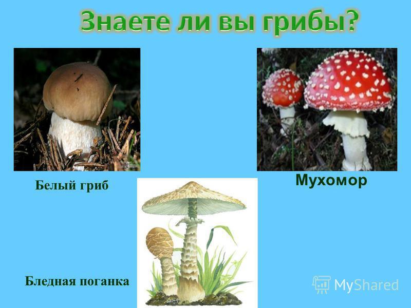 Белый гриб Бледная поганка Мухомор