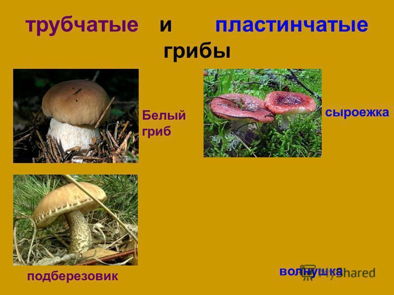 трубчатые и пластинчатые грибы Белый гриб подберезовик сыроежка волнушка