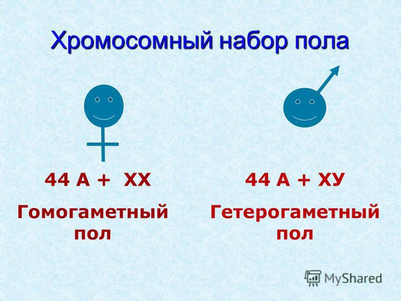 Хромосомный набор пола 44 А + ХХ Гомогаметный пол 44 А + ХУ Гетерогаметный пол
