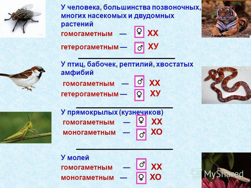 У человека, большинства позвоночных, многих насекомых и двудомных растений гомогаметным XX гетерогаметным ХУ У птиц, бабочек, рептилий, хвостатых амфибий гомогаметным XX гетерогаметным ХУ У прямокрылых (кузнечиков) гомогаметным XX моногаметным ХО У м