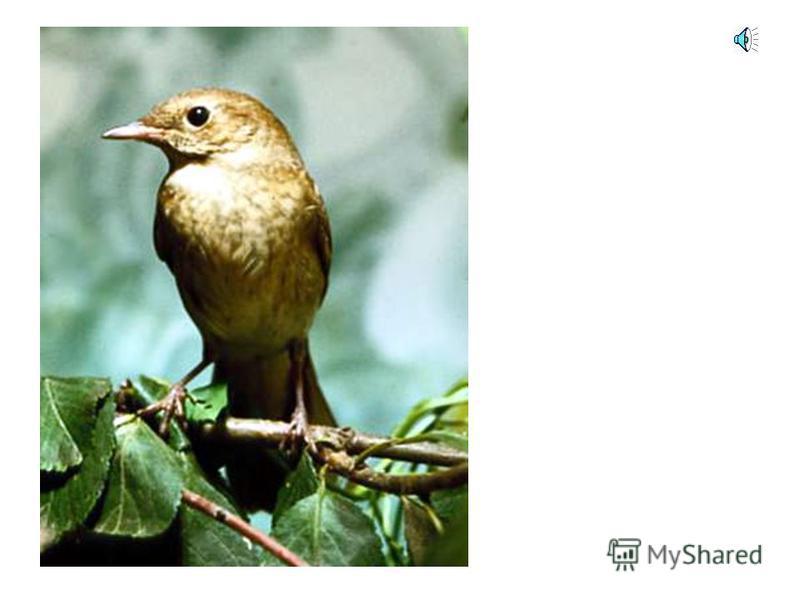А голос этой птицы узнал?