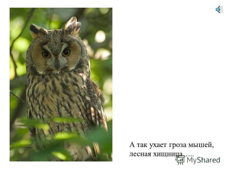 Вот еще один знаменитый птичий певец –