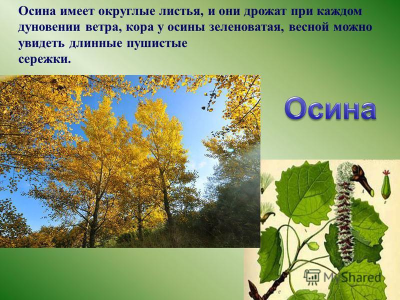 Осина имеет округлые листья, и они дрожат при каждом дуновении ветра, кора у осины зеленоватая, весной можно увидеть длинные пушистые сережки.