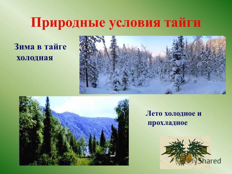 Природные условия тайги Зима в тайге холодная Лето холодное и прохладное