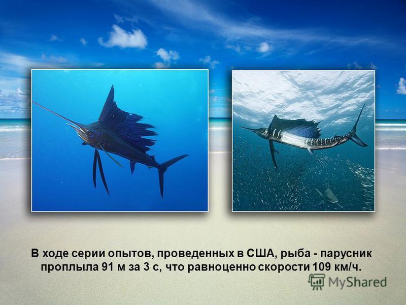 В ходе серии опытов, проведенных в США, рыба - парусник проплыла 91 м за 3 с, что равноценно скорости 109 км/ч.