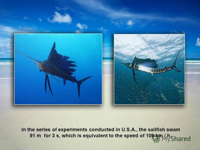 In the series of experiments conducted in U.S.A., the sailfish swam 91 m for 3 s, which is equivalent to the speed of 109 km / h.