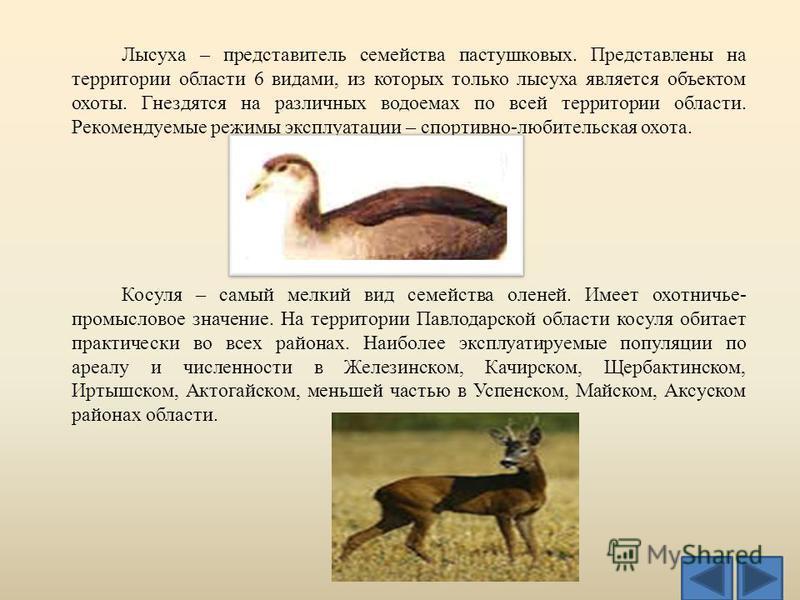 Лысуха – представитель семейства пастушковых. Представлены на территории области 6 видами, из которых только лысуха является объектом охоты. Гнездятся на различных водоемах по всей территории области. Рекомендуемые режимы эксплуатации – спортивно-люб